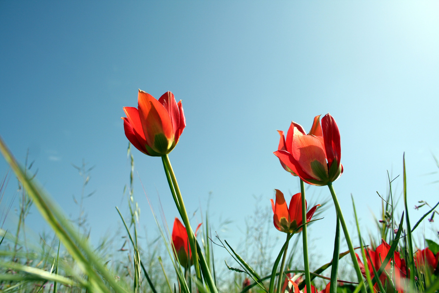 Title: Red Tulips; Description: Red Tulips